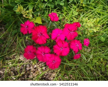 red Dianthus chinensis flowers, Meaning is pure, brave love,thinking of to deceased mother, they absorb sulfur dioxide and chlorine gas
