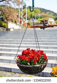 Red Dianthus flower in hanging pot decoration in garden