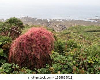 Red Dodder ie Cuscuta epithymum on wild Gorse ie Ulex europaeus, Devon, UK.