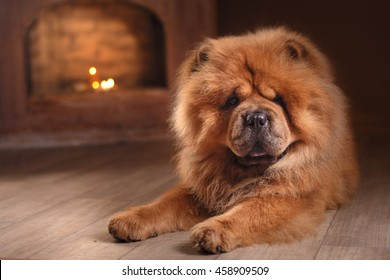 red dog breed chow chow on a retro vintage studio background