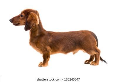 red dog breed dachshund on white background