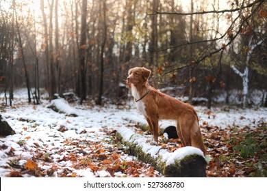 red dog breed Nova Scotia Duck Tolling Retriever