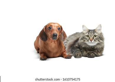 Red dog dachshund and cat on a white isolated background