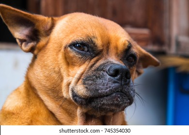 Funny dog face images stock photos vectors shutterstock the red dog funny face voltagebd Gallery