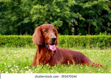 red dog Irish setter in summer, lying in the Park on the grass