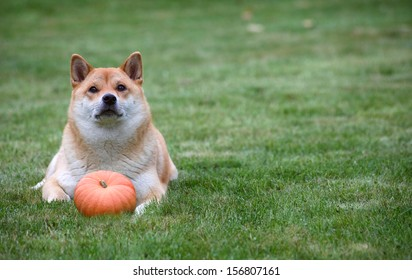 red dog lying with pumpkin on grass.  Halloween   thanksgiving photo with copy space.