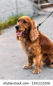 A red dog on the street sits in profile, a serious dog muzzle, focused it is a watchdog.