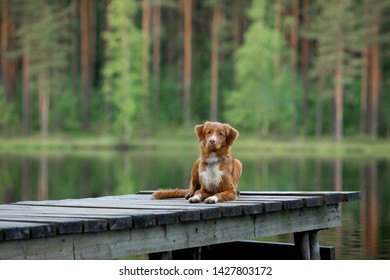 red dog on a wooden bridge on the lake. Nova Scotia Duck Tolling Retriever in nature