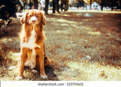 red dog retriever in the park