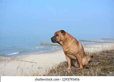 Red dog Shar Pei sits on the yellow grass on the shore of the Baltic Sea