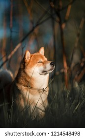 the red dog of the Shiba Inu breed basks in the sun