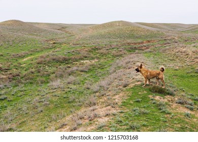 Red dog walkin outdoor, steppe or field. Autumn or spring time. Landscape, daylight.
