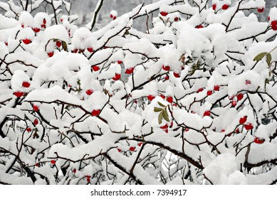 Red dogrose berries with snow.