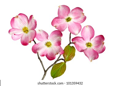 Red Dogwood Blossom flowers isolated on white background