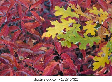 Red Dogwood Leaves and Yellow Oak Tree Leaves