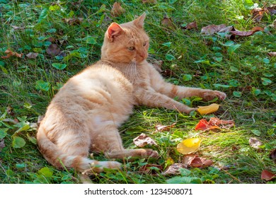 Red domestic cat lying on the green grass