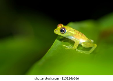 red dotted frog - Boophis bottae, beautiful nocturnal endemic frog from Madagascar forests, Andasibe.