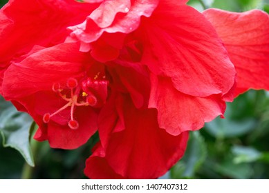 Double Red Hibiscus Images Stock Photos Vectors Shutterstock