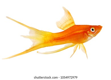 Red double Swordtail Xiphophorus Helleri Male aquarium fish isolated on white