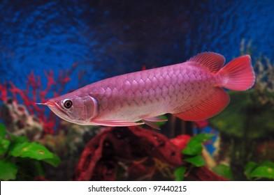 Red dragon fish
