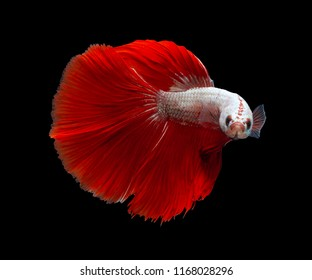 Red Dragon Halfmoon,Multi color Siamese fighting fish(Rosetail),Betta splendens,on black background with clipping path