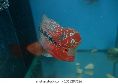 Red dragon with pearls flowerhorn. Ho Chi Minh city, Vietnam. June 2016.