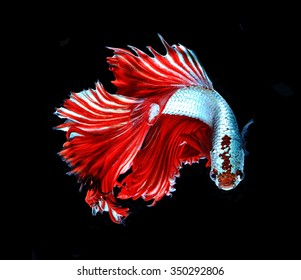 Red dragon siamese fighting fish, betta fish isolated on black background.