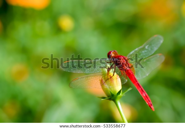 Red dragonfly on flower and green nature background