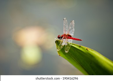 Red dragonfly on a leafe in a pond
