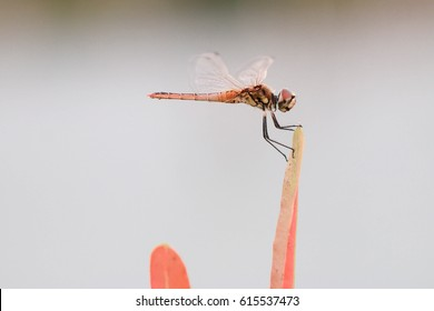 Red dragonfly on orange grass has a blue sky background in the evening.