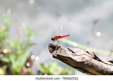 Red Dragonfly Oriental Scarlet, Crocothemis servilia sitting on wooden bark over blur background. Beautiful dragon fly in the nature habitat