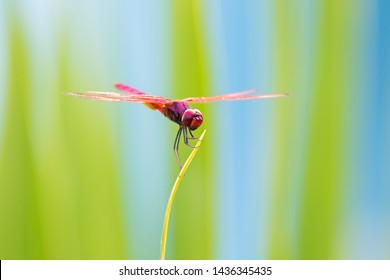 Red dragonfly perch on branch with blurred background at Khao Yai National Park, Thailand