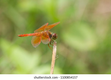 Red dragonfly perching on a dead tree branch on green background
