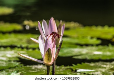 Red dragonfly posing on a pink and white nymphaea upon green leaves floating on a lake with a bokeh background.