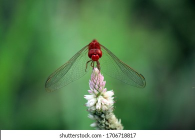 A red dragonfly is resting at the end of a flower on the edge of the lake after it is full enjoying the meal