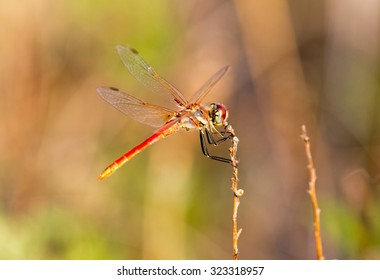 Red Dragonfly Resting on a plant