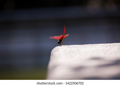 Red dragonfly resting on stone in city park
