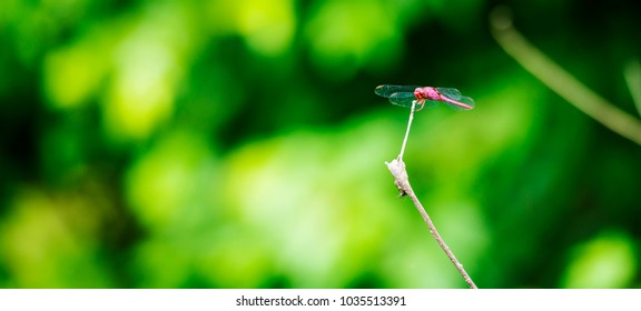 Red Dragonfly sits on a branch with its wings displayed in shallow focus with copy space