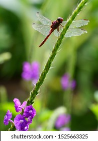 Red dragonfly sitting above a purple wildflower