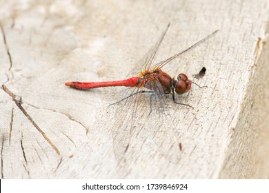 Red dragonfly is sitting on wood