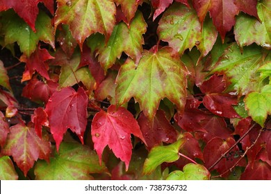 Red drops on multicolored grape leaves