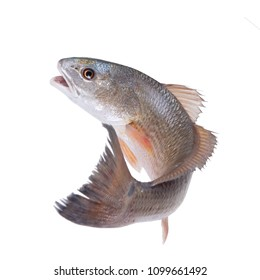 Red Drum, Redfish   (Sciaenops ocellatus). Escaping fish. Isolated on white background