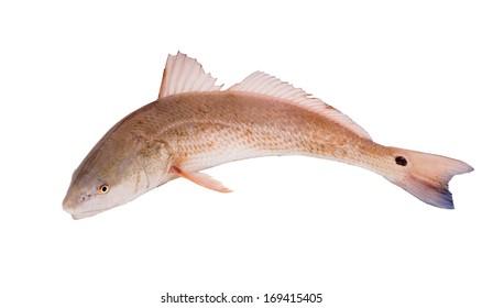 Red drum, Redfish   (Sciaenops ocellatus) isolated on white background