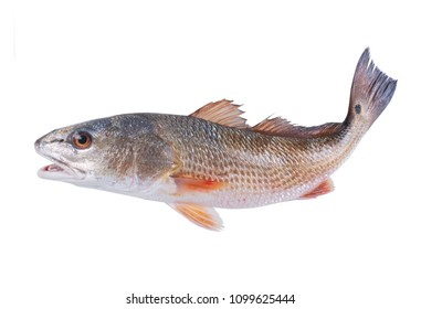 Red Drum (Sciaenops ocellatus) with a curved tail. Isolated on white background