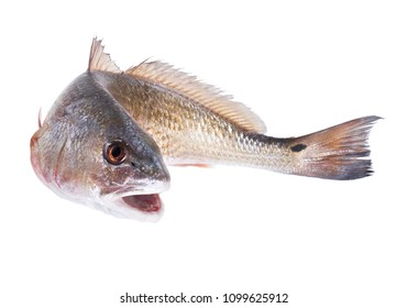 Red Drum (Sciaenops ocellatus. Curved fish. Isolated on white background