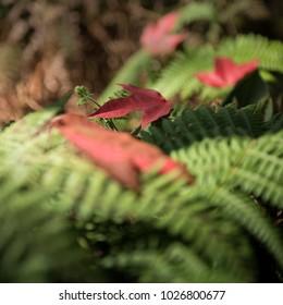 Red dry maple leaves on green fresh fern leaves