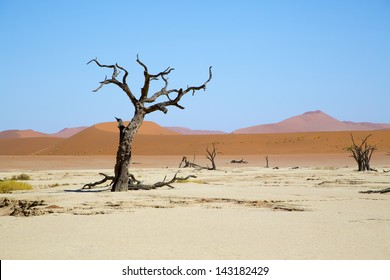 Red dunes and a Camel thorn tree by Deadvlei, Sossusvlei