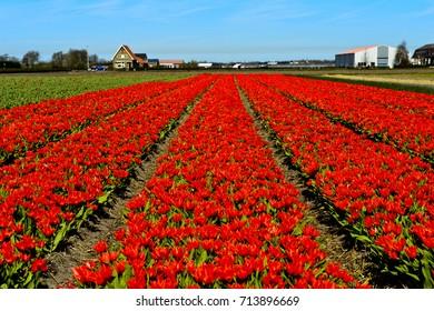 Red dwarf tulips, Tulipa Greigii hybrids, Dutch tulips, Lisse near Leiden, Netherlands