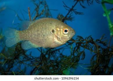 Red Ear Sunfish (Lepomis microlophus)