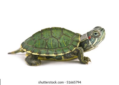 red ear tortoise isolated on white